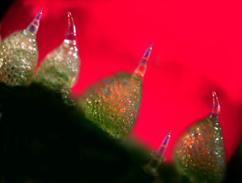 currrentbiology:   Cucumber Skin Barbs Under 800X magnification, this honorable-mention-winning photograph shows toxin-filled barbs called trichomes on the skin of an immature cucumber. The trichomes bear sharp points 40 times thinner than a sewing needle and help protect the growing fruit from predators. The toxins they release are called cucurbiticins and are the most bitter compounds known. Image: Dr. Robert Rock Bellivea