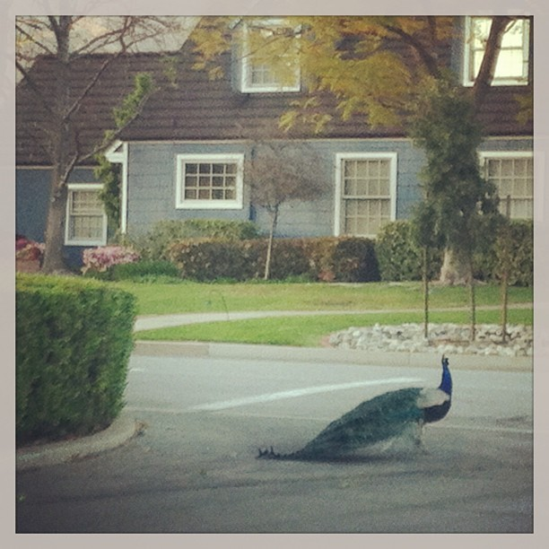 Real Peacocks of Arcadia, CA coming to Bravo soon! (at Where The Peacocks Roam)