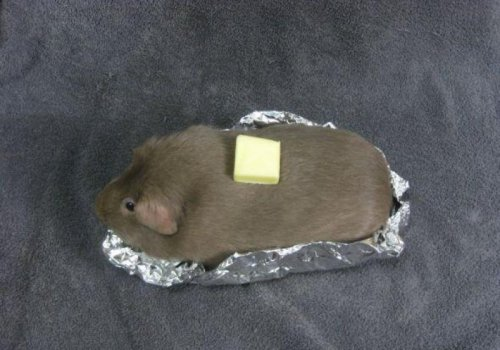 Guinea Pig is Actually a Potato  I bet you've been wondering why your potato is so hairy. It's actually a really funny story…