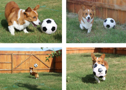 corgiaddict:  Soccer is Dexter's favorite outdoor game.