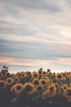 prettylittleflower:  sunflowers. by Tasha Maríe on Flickr.