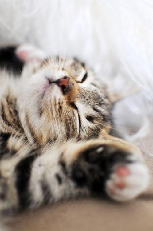 Cat nap  via Cutest Paw~ Sweet Dreams beautiful friends ♥