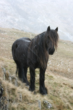 mediumaevum:  Fell pony - one of the breeds used as campaign riding horse, or light cavalry during the Middle Ages.