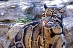 rhamphotheca:  Cats on the Brink - Endangered Felids:  Clouded Leopard  by Jaymi Heimbuch The Clouded Leopard has been in the news recently because it has been declared extinct in its native Taiwan. After over a decade of searching, researchers couldn't find a shred of evidence that the cat still lives in the country. Thankfully, the species still exists in other areas of Southeast Asia, though total numbers are estimated to be less than 10,000. Because of this, they have been listed as vulnerable to extinction (not endangered, but close to it), since 2008. The main threats against them, of course, are human-made — habitat loss from large–scale deforestation, and commercial poaching for the wildlife trade. (read more: TreeHugger)                       (photo: Wikipedia)