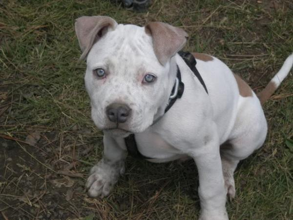 handsomedogs:  cain is such a lovely little pittie.  dem eyes