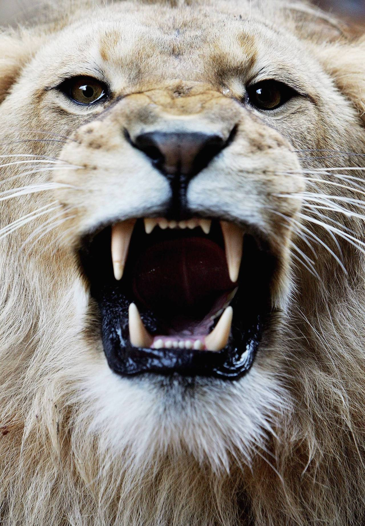 crescensa:  theanimaleffect:  a three-year-old African lion bares his teeth at the opening of a savannah-themed makeover of the lion enclosure at Taronga Zoo Photo by Ian Waldie  love