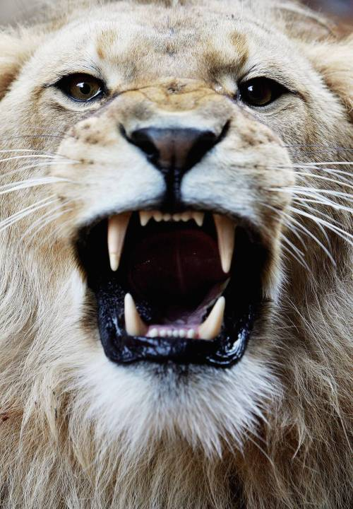 theanimaleffect:  a three-year-old African lion bares his teeth at the opening of a savannah-themed makeover of the lion enclosure at Taronga Zoo Photo by Ian Waldie