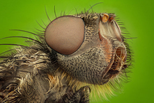 Housefly by ~Daemonoropsis