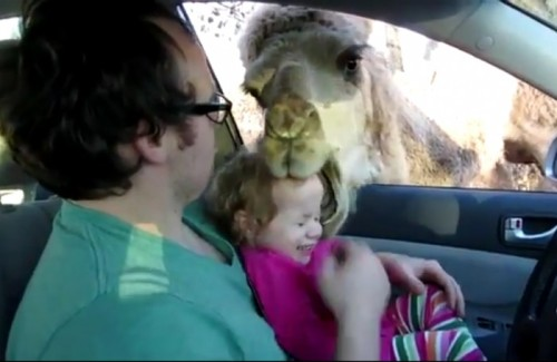 LITTLE GIRL LAUGHS AS CAMEL TRIES TO EAT HER HEADby Blaire Bercy http://bit.ly/16u0zqz