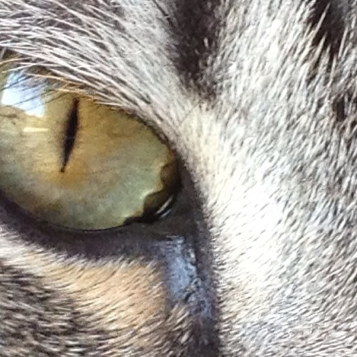 Looking for you… #eye #cat #nofilter #nature #green #pets #instamood #instaphoto #like4like #igersvenezuela #igers #igersccs #gray #cateye #catlover