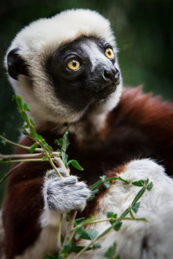 animalgazing:  Coquerel's Sifaka by William T Hornaday