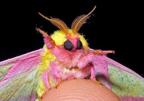 botanicazilla:  THE MOST ADORABLE BUG ON EARTH.  Its soooo fluffyyy!