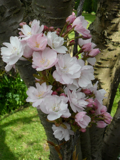 vwcampervan-aldridge:  Pink Cherry Blossom, Aldridge, Walsall, England All Original Photography by http://vwcampervan-aldridge.tumblr.com