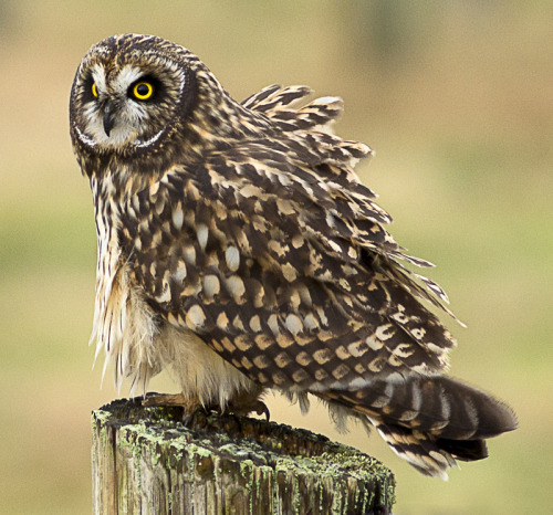 Short Eared Owl (by Rita Ivanauskas)