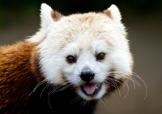 sdzoo:  Happy Red Panda by Nathan Rupert - French naturalist Baron Cuvier first described the western red panda Ailurus fulgens fulgens to Western science in 1825. After examining a red panda, he said it was the most beautiful animal he had ever seen.