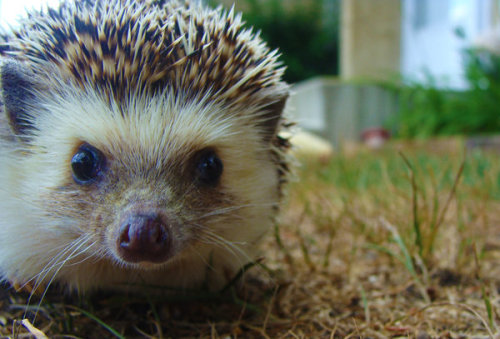 animals-animals-animals:  Hedgehog (by total-affliction)