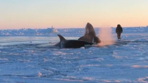 Orcas free after being trapped in ice in Quebec     A pod of orcas captured the world's attention after being trapped in the ice of Hudson Bay. The good news? They've managed to escape.