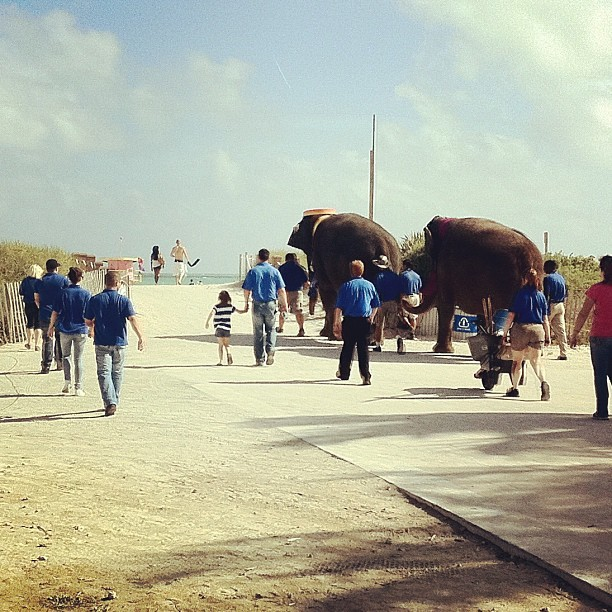 Just a couple elephants heading to the beach right now.. #sobe #miamibeach #southbeach #elephant