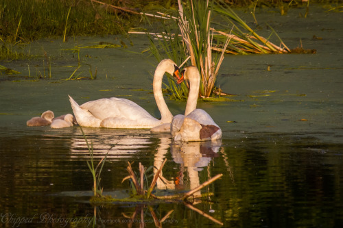 amfad:    A swan family just enjoying their life on the Marsh at the bay. Canon t2i Bay City, Michigan May, 2012 http://facebook.com/chippedphotography http://viewbug.com/chippedphotography