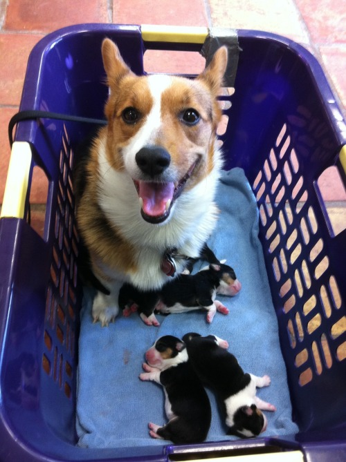 corgiaddict:  Momma Cordy with her 3 day old pups  mummy corgie looking excited and happy!