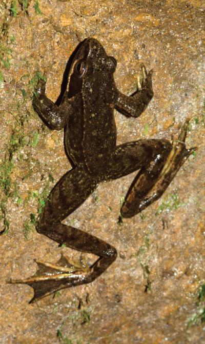 "Frog Surprisingly Found to Live Underground by Douglas Main The Iberian frog (Rana iberica), like most of its hopping ilk, is commonly found above ground, dwelling among the streams of Portugal and Spain. But new research shows the animals can, and do, make a living underground. The study found that Iberian frogs can breed and live their entire lives in cavelike chambers, the first time this has been seen for a frog in Western Europe. The creatures were observed breeding in underground drainage compartments built beneath Portugal's Serra da Estrela Natural Park; aboveground the animals are also found in ""small ponds, humid meadows and soaked fields,"" the authors wrote in a study. Although frogs and toads are known to inhabit caves during certain parts of their life cycles, or to seek their moderate, consistent temperatures, no frog in the world is known to live solely underground, according to the research… (read more: Live Science)             (photo: Gonçalo M. Rosa)"