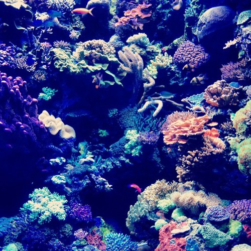 Day 350 of 366 amazing #coral at the #aquariumofthepacific #aquarium #longbeach #california #ocean #nature #multicolor #beauty #phootd #photootd #project366