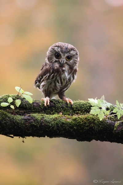 tricki-nikki:  sophieenteredwonderland:  This is my pet owl his name is steve the wise owl.  so fucking cute i want to cry