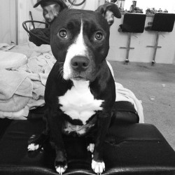 kellyghost:  She sits so funny. She is so beautiful. #pitbull #pitmom #angel #stella