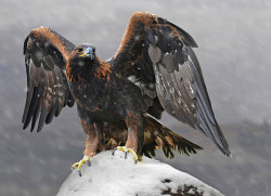 Golden Eagle By Ronald Coulter
