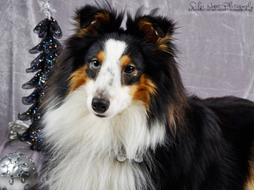 pawprint-in-my-heart:  Eagermind Villa Fidelius, male Shetland Sheepdog.