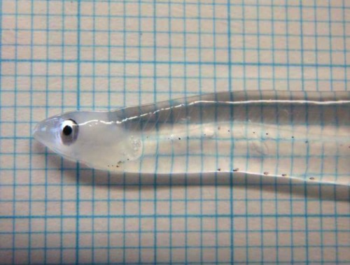 uppersdownersscreamerslaughers:  transparent fish