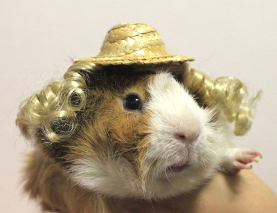 laughingsquid:  Guinea Pig Fashion, A Japanese Store Offering Stylish Wigs, Hats & Costumes For Guinea Pigs