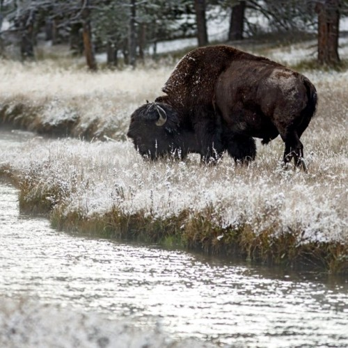 Happy National #Bison Day!