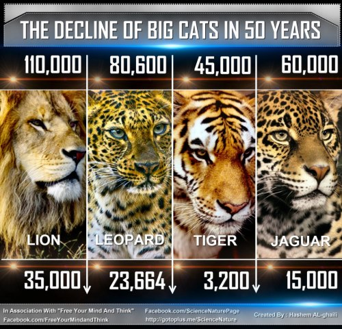 losers-count-sheep:  Tigers may be extinct within 12 years Amur leopards - of which only about 35 are thought to exist in the wild - may be extinct within 3 or 4 years. In the 70s and 80s, 18,000 jaguars were killed each year for their fur. The numbers are still rapidly declining. Half of Africa's lion populations face extinction within the next 40 years. Credits are noted in the image.
