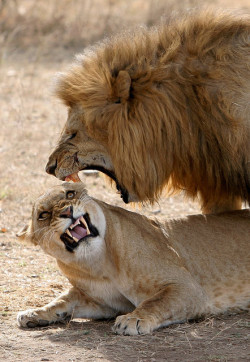 true love by AnyMotion on Flickr.Lion Sex Face lol