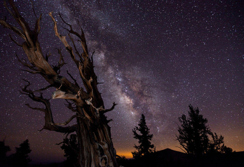 distant-traveller:   Blazing bristlecone Image credit: Tom Lowe