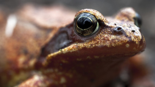 Next antibacterial line of defense? Russian frogs   Before the advent of refrigeration, Russians had a neat trick for keeping their milk from spoiling. They'd drop a live frog in the milk bucket. The Russians weren't sure how this amphibian dairy treatment worked, but they were convinced it did. Since then, researchers have discovered that the goo some frogs secrete through their skin has antibacterial and antifungal properties. One group of scientists led by a Russian chemist is trying to break down this frog goo at a molecular level. The researchers have found compounds they hope will lead to new medicines.