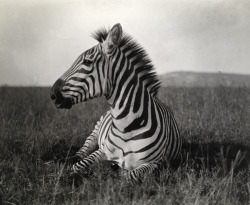 natgeofound:  A Burchell's zebra at rest in the African terrain. From a March 1909 article about President Theodore Roosevelt's upcoming hunting trip to Kenya.Photograph by Carl E. Akeley, National Geographic