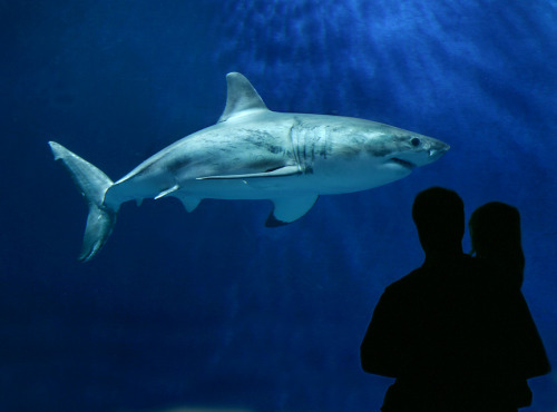 montereybayaquarium:  New Future for Great White Sharks?  Should great white sharks in the Northeastern Pacific be placed on the endangered species list? That's the issue being considered by Californa and U.S. wildlife officials, who have received petitions calling for protection under state and federal Endangered Species acts. The Aquarium is very supportive of this process, and we're assisting in any way we can so the final decision is based on the best, most current science. Much of what's known about the lives of adult and juvenile great white sharks today – from migration patterns and population size, to the contaminant levels in their tissues – is the result of studies in which the Aquarium, along with a broad consortium of scientists from Stanford, UC Davis, CSU Long Beach and other institutions, has played a key role. There's more public concern about the future of great white sharks in part because we have, since 2004, introduced more than 3 million people to a half-dozen young sharks face-to-face in our Open Sea exhibit. Visitors tell us that the experience changed their attitudes and say they were inspired to help protect white sharks in the wild. While the review process is under way, we've decided not to collect white sharks for exhibit. It's our hope that any new policies protecting white sharks will allow for occasional exhibit of white sharks (before their return to the wild) and for a vigorous field research program. Both public engagement and research are essential to assure a future for white sharks. Learn more about our white shark research program.