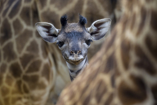sdzoo:  Nikki's calf officially exploded the cute meter. Huge props to our photographer Ken Bohn.