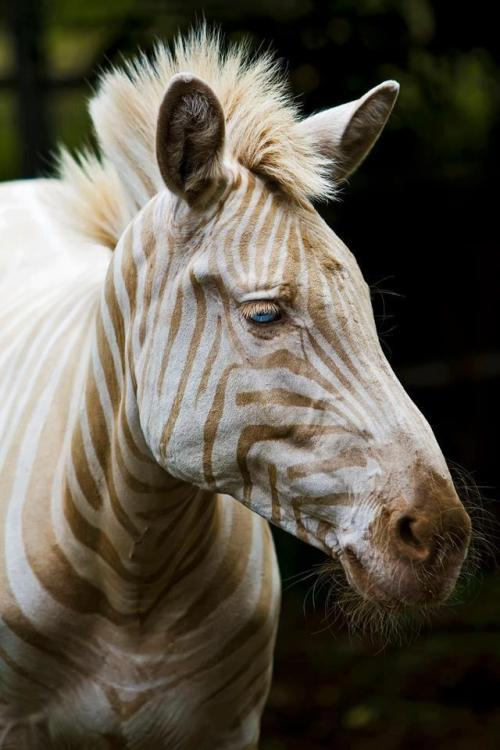 lifeofajayhawk:  Meet Zoe. She is the only known captive white (golden) Zebra to exist.