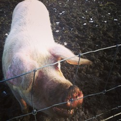 Happy piggy is happy we went visiting him. Love this guy #pigs #animals (at Kinderboerderij Kiewit)