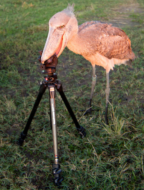 theanimalblog:  University student Morgan Trimble photographed this shoebill trying to eat her camera tripod after being released into the wild. The bird had been hand-reared in captivity by conservationists since it was rescued from poachers as a chick. Picture: MorganTrimble/BNPS