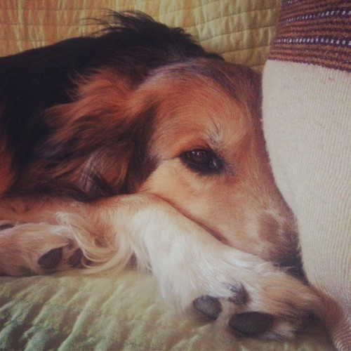 Feeling mellow. #dogs #dogsofinstagram #sleepy #paws #mutts #pets #cutepets #couch #cute