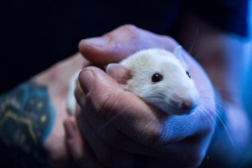 animals pets rats petblr rodents cute ratblr Rory Vincent doctor who