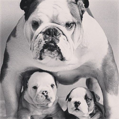 #bulldog #babies #puppies #black #white