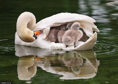 animalia:  Submitted by mongrel-cat: Swan mother and swanlings, at the Bicton Park Botanical Gardens. Photo by Richard Meston.