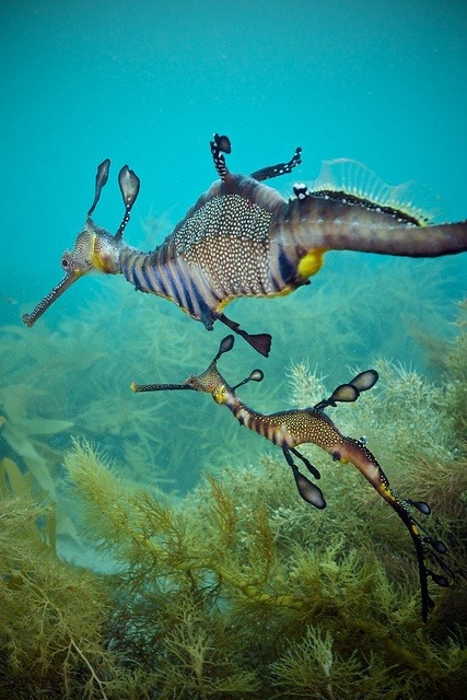 p-e-r-e-g-r-i-n-e:  Sea Dragons