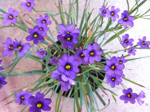 flora-file:  Blue-Eyed Grass (by flora-file)