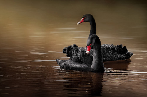 Black Swans by Marcello Spiazzi